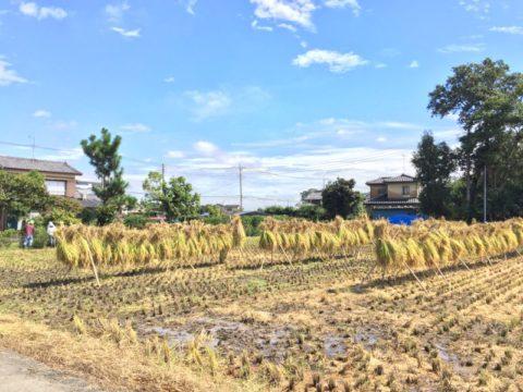 お米の収穫体験が開催されました!