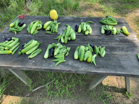 9月7日から自然栽培の会冬野菜コースが開始。当日は無料体験日となります。