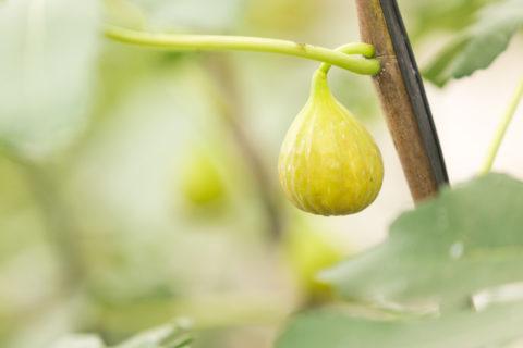 初夏の農園に宿泊~朝採り無花果収穫体験付きプラン