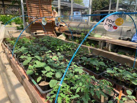 「昨年、自家採種をした固定種の野菜苗をお譲り致します!」無くなり次第終了です