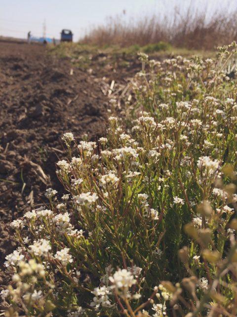 畦畔の草取り